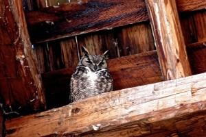 Betty's owl
